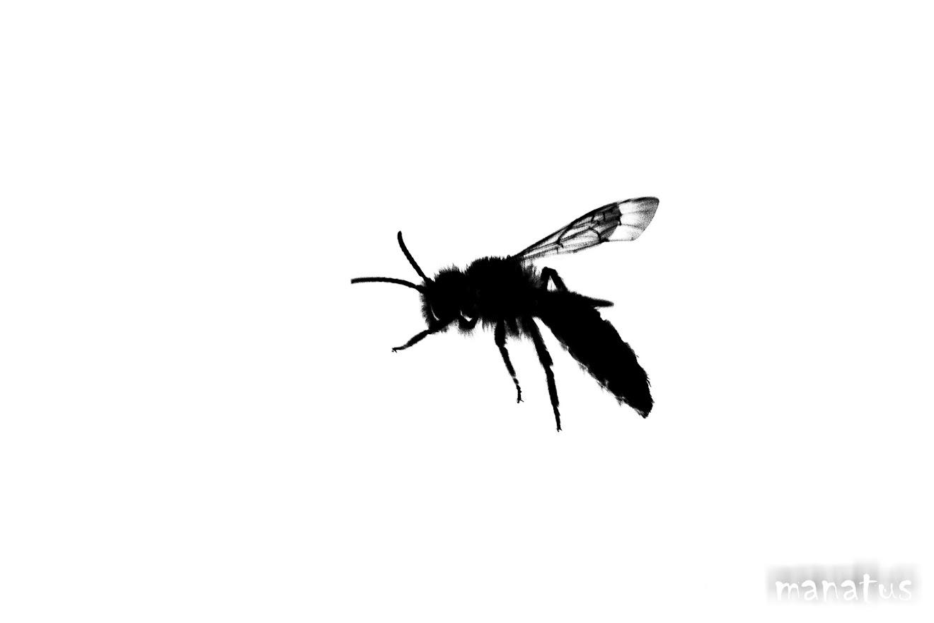 abeja en clave alta