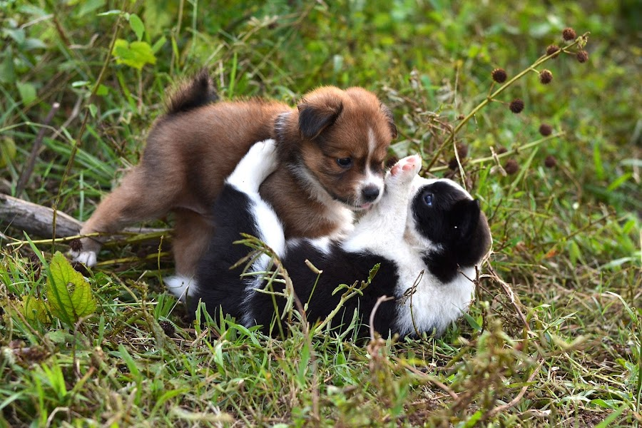 by Piutie Kay - Animals - Dogs Playing