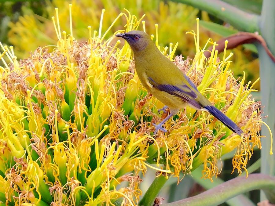 Bellbird by Donna Racheal - Animals Birds ( animals, nature, flowers, birds, bellbird,  )
