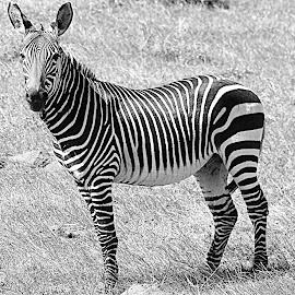 Paint me by Fanie van Vuuren - Black & White Animals