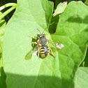 Wool-Carder Bee (female)