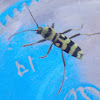 Wasp Longhorn