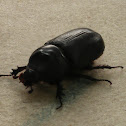 Asiatic rhinoceros beetle