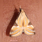 Crambid wild moth