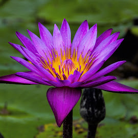 Water Lily by Lye Danny - Flowers Single Flower