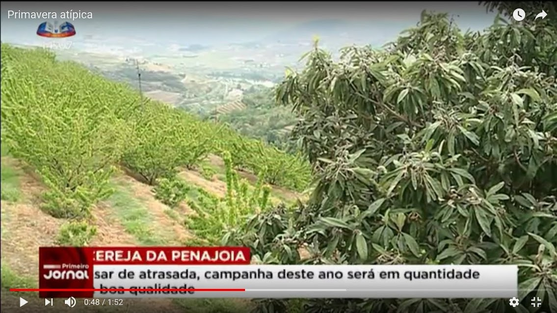 Vídeo - Primavera atípica não ajuda na maturação da cereja em Penajóia