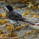White Wagtail; Lavandera Blanca