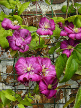 Photo: Clematis jackmanii