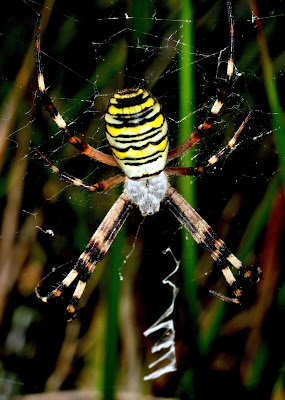 Il ragno vespa di benny48