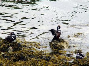 Photo: Harlequin Ducks