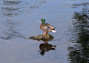 Photo: Duck on rock