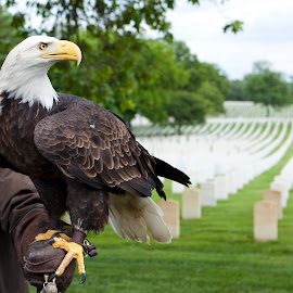 Freedom isn't free by Patrick Tenny - Public Holidays July 4th ( holiday, eagle, freedom, veterans, cemetery )