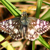 Common Checkered Skipper Butterfly