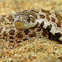 Dusty Hognose Snake