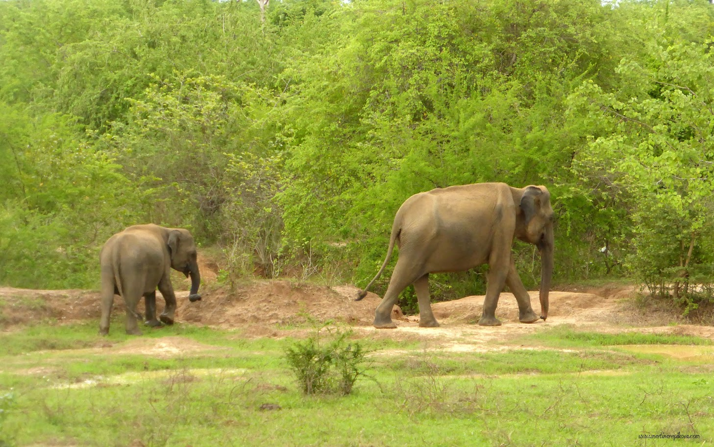 Elephants, Uda Walawe, Sri Lanka