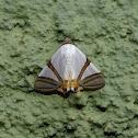 Moth - Eulepidotis rectimargo