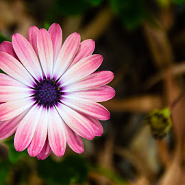 Pink& Purple by Mark Luyt - Flowers Single Flower ( pink, purple centre, purple, pink flower, flower,  )