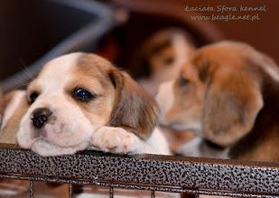 Photo: Chciałabym Już Wyjść z Kojca ale jestem za mała . Muszę Trochę podrosnąć. http://beagle.net.pl/miot-F.htm