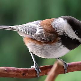 Chickadee on Arbutus by Keith Sutherland - Animals Birds