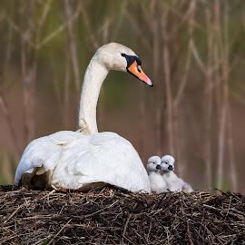 Swans 201405141156 by Carl Albro - Animals Birds ( waterfowl, swan, baby, babies, nest, wildlife )