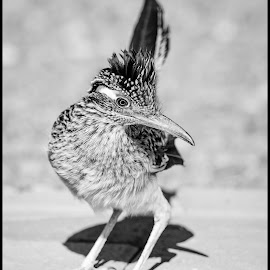 Roadrunner by Dave Lipchen - Black & White Animals ( roadrunner )
