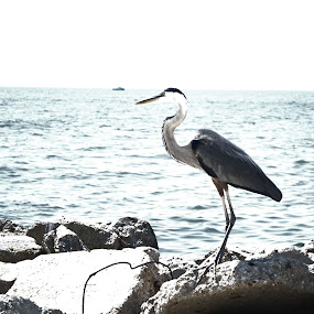 Mississippi Gulf Coast Blue Heron by Sidney Vowell - Novices Only Wildlife