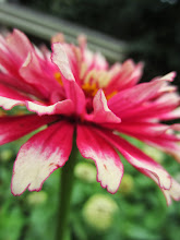 Photo: Pink and white flower with pink-edged pegals at Wegerzyn Gardens in Dayton, Ohio.