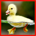Little Duck Memory Game