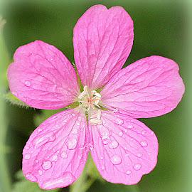 campion by Caroline Beaumont - Flowers Single Flower ( campion )