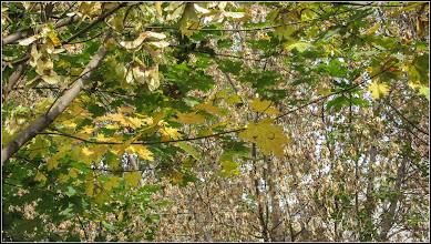 Photo: Arțar, paltin de câmp (Acer platanoides) -  din Turda, Calea Victoriei, B17 - 2018.10.19