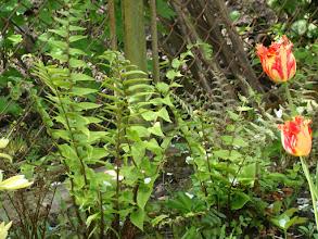Photo: Папороть  Cyrtomium Foetunei var.Clivicola