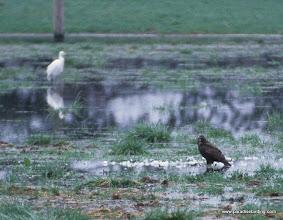 Photo: Harlan's Red-tailed Hawk, Samish Flats, Washington