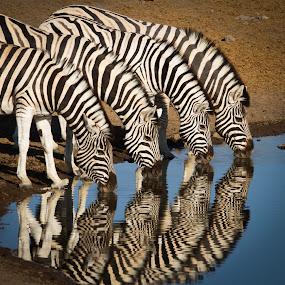 Reflections by Rian Van Schalkwyk - Animals Other Mammals ( reflection, etosha national park, zebra, stripes,  )