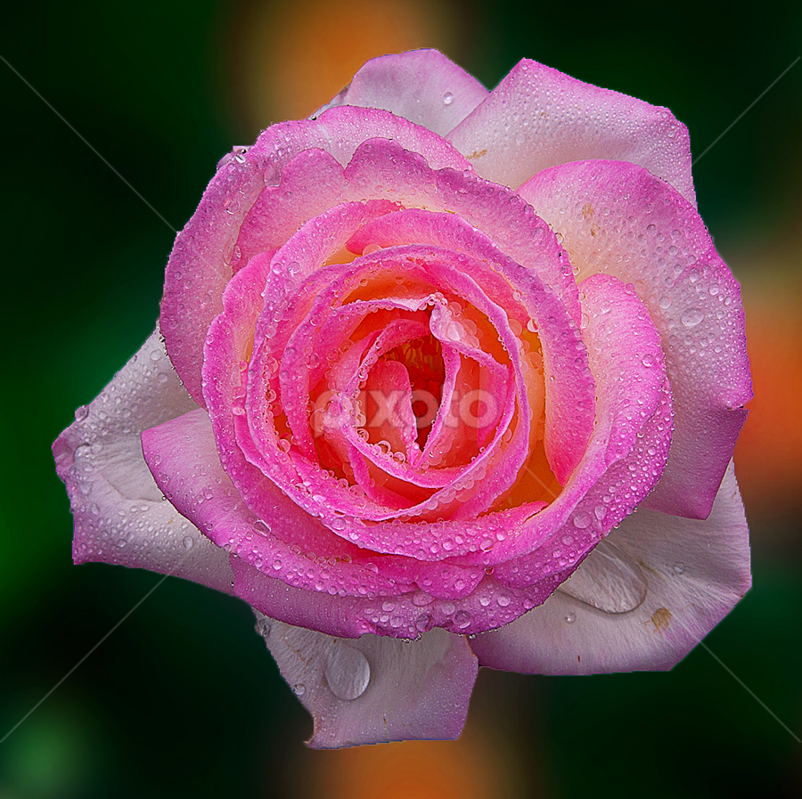 Pinker's of Rose by TEDDY ZUSMA - Nature Up Close Flowers - 2011-2013