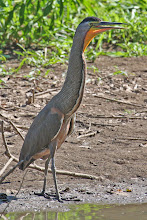 Photo: Bare-throated Tiger-Heron