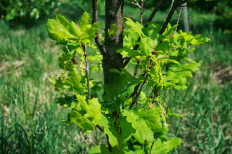 Photo: дуб черешчатый