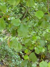 Photo: Hojas de aliso (Alnus glutinosa)