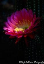 Photo: Wishing all a great weekend :)!  saija-lehtonen.artistwebsites.com  #cactusflower  #cactus  #flowerphotography  #flowers  #flower  #floralfriday  #floralphotography  #floraltoday  #nature  #southwest