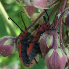 Red Milkweed Beetle