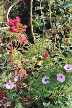 Photo: Poinsettia and Morning Glory
