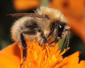 Photo: Bumble Bee on a Marigold  Having to look back through old photos - this one was taken 22 Sept 2012. Same fluffy bee I shared last Thursday, just a different shot of it!