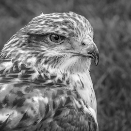 Ferruginous by Garry Chisholm - Black & White Animals ( raptor, bird of prey, nature, ferruginous, hawk, garry chisholm )