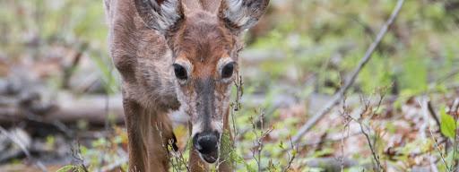 White-tailed Deer (Odocoileus virginianus), , Park Pointe aux Prairies, Montreal, 2017/05/13