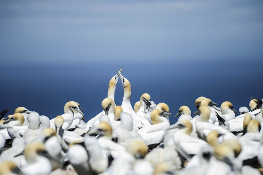 View the gannets of Gannet Beach in sunny Hawke's Bay, New Zealand, on a Ponant cruise.