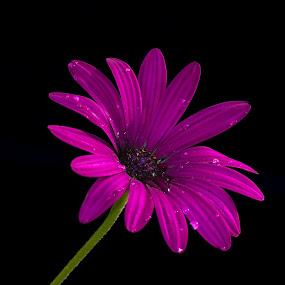 Malmequer by Mário Rua - Nature Up Close Flowers - 2011-2013 ( flower )