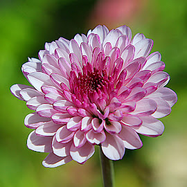 by Carmen Quesada - Flowers Single Flower ( single, purple, green, pink, mums, flower )