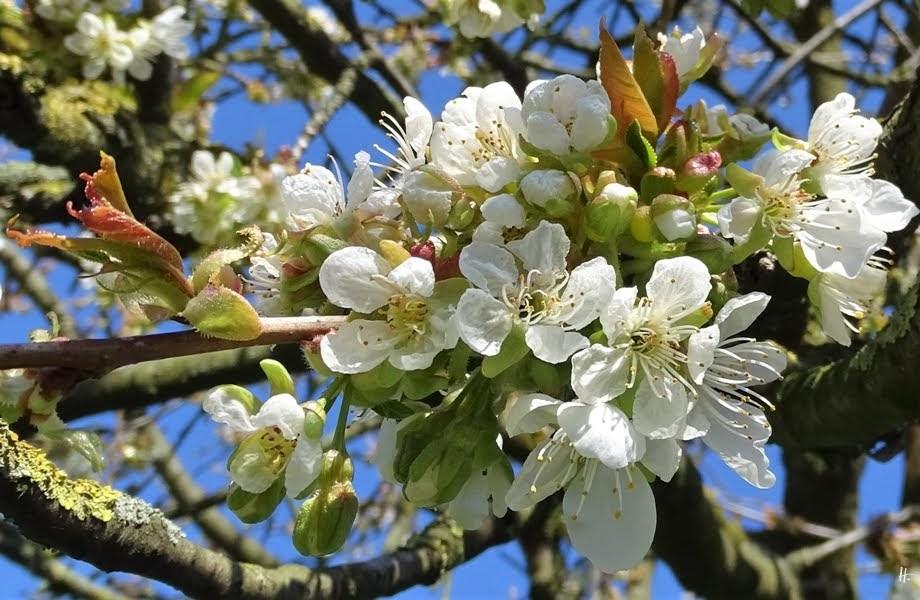 2019-04-15 LüchowSss Garten 14-15 Uhr (60) angefrorene Süsskirschblüten