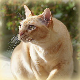 Red Burmese Cat by Caroline Beaumont - Animals - Cats Portraits ( red burmese cat,  )