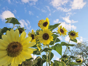 Photo: Yellow sunflowers at the end of a bright day at Cox Arboretum and Gardens of Five Rivers Metroparks in Dayton, Ohio.