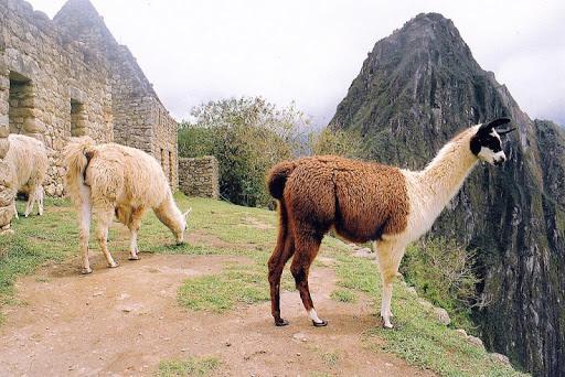 Cute Llamas Wallpaper Images